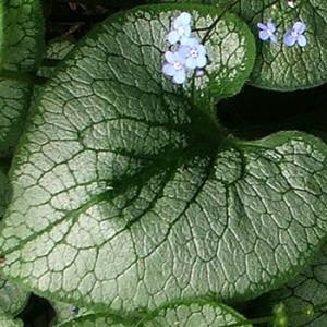 brunnera-leaf